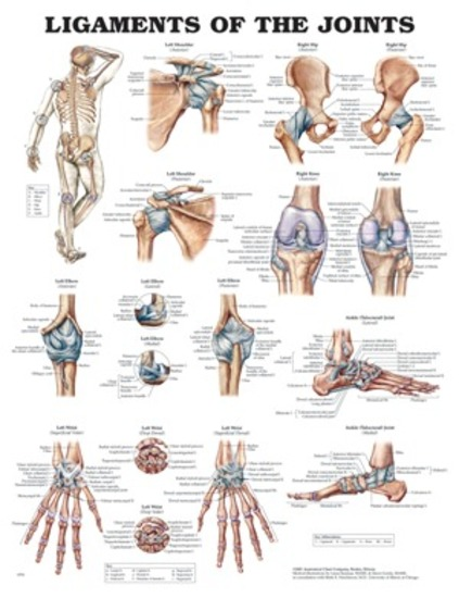 Free Anatomy Quiz - The Joints of the Body - Quiz 1  Human Skeleton Joints Diagram