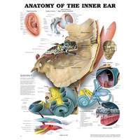 Anatomical Chart- Inner Ear