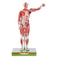 Anatomical Male Muscle Model