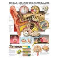Anatomical Chart- The Ear Organs of Hearing and Balance