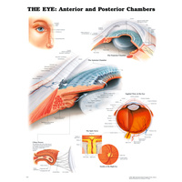 Anatomical Chart-  The Eye Anterior & Posterior Chambers