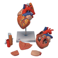 Anatomical Models about Heart, Oesophagus & Trachea