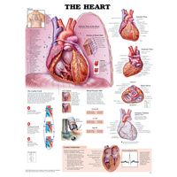 Anatomical Chart- The Heart