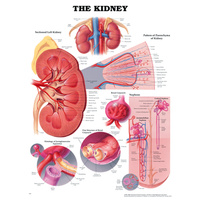 Anatomical Chart- The Kidney