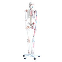 Anatomical Model Skeleton with Muscles and Ligaments 180cm Tall