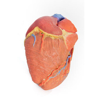 Anatomical Model- Heart