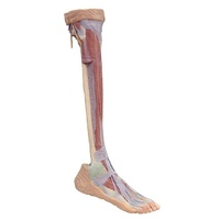 Anatomical Model- Lower Limb deep dissection