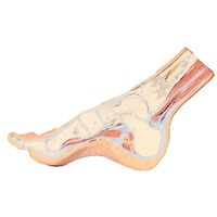 Anatomical Model- Foot Parasagittal cross-section