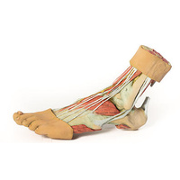 Anatomical Model- Foot Structures of the plantar surface