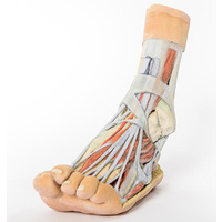 Anatomical Model- Foot Superficial and deep dissection of the distal leg and foot