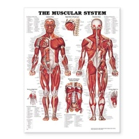 The Muscular System -Laminated  Anatomical Chart