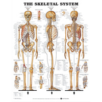Anatomical Chart -The Skeletal System