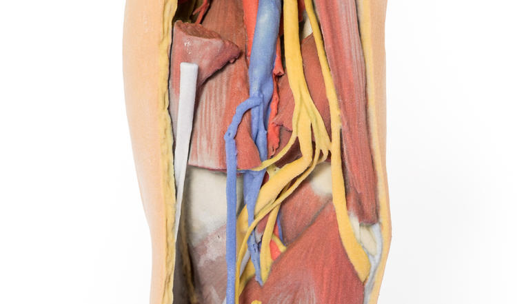 Anatomical Model Popliteal Fossa Distal Thigh And Proximal Leg