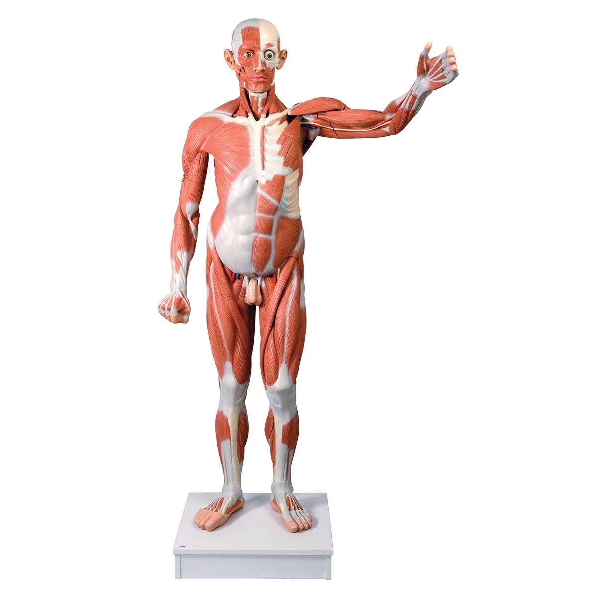 Anatomical Model Life Size Male Muscular Figure 37 Part