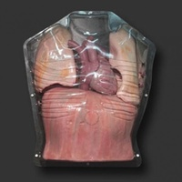 Clear Thorax with Movable Ribs, Arms Up