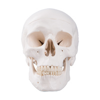 Anatomical Classic Human Skull Model 3-part
