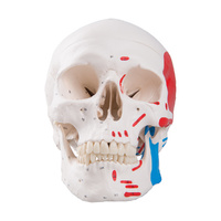 Anatomical Model- Classic Human Skull Model, painted, 3 part