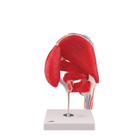 Anatomical Model-  Hip Joint Model with Removable Muscles (7 part)