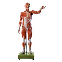 Anatomical Male Muscle Figure