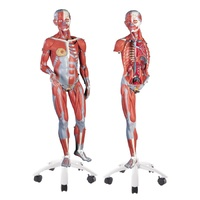 Anatomical Model- 3/4 Life-Size Dual Sex Muscle Model