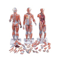 Anatomical Model - 1/2 Life-Size Complete Dual Sex Muscle Model