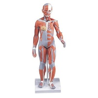 Anatomical Model- 1/2 Life-Size Complete Female Muscular Figure, 21 part Without Internal Organs