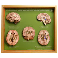 BRAIN, 5 SECTIONAL MODELS