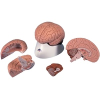 Anatomical Model Brain in 4 parts