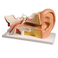 Anatomical Ear Model 4-Part
