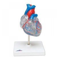 Anatomical Model- Classic Heart with Conducting System, 2 part
