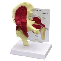 Anatomical Model- Muscled Hip