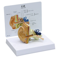 Anatomical Model-Ear