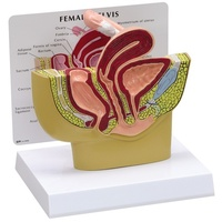Anatomical Model -  Female Pelvis