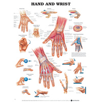 Anatomical Hand and Wrist Chart