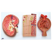 Anatomical Model about K11 Kidney Section