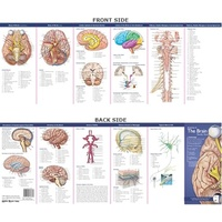 Anatomical Pocket Chart- Anatomy of The Brain Study Guide