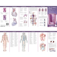Anatomical Pocket Chart- The Circulatory System Study Guide