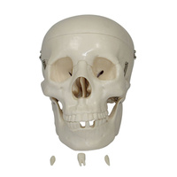 Anatomical Model Life-Size Skull
