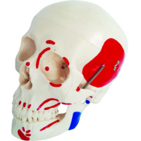 Anatomical Life-Size Skull With Painted Muscles