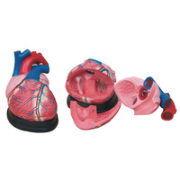 Anatomical Jumbo Heart Model