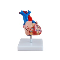 Anatomical Life-Size Heart Model