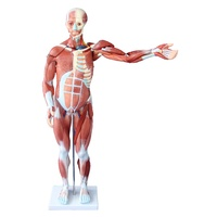 80CM Human Anatomical Muscle Model Male (27 Parts)