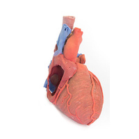 Anatomical Model- Heart and the distal trachea, carina and primary bronchi