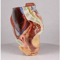 Anatomical Model- Female right pelvis