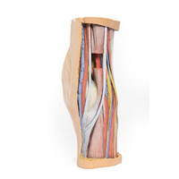 Anatomical Model- Popliteal Fossa