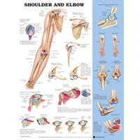 Anatomical Chart-  Shoulder and Elbow