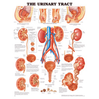 The Urinary Tract Chart