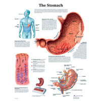 Anatomical The Stomach Chart