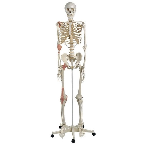 Anatomical Skeleton with Ligaments Model