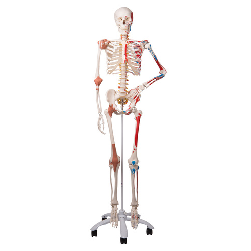 Anatomical Super Skeleton Sam - on a roller stand